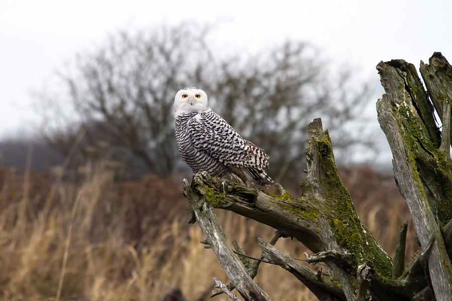 Snowy Owls Photograph - Snowy Owl At Boundary Bay  by Pierre Leclerc Photography