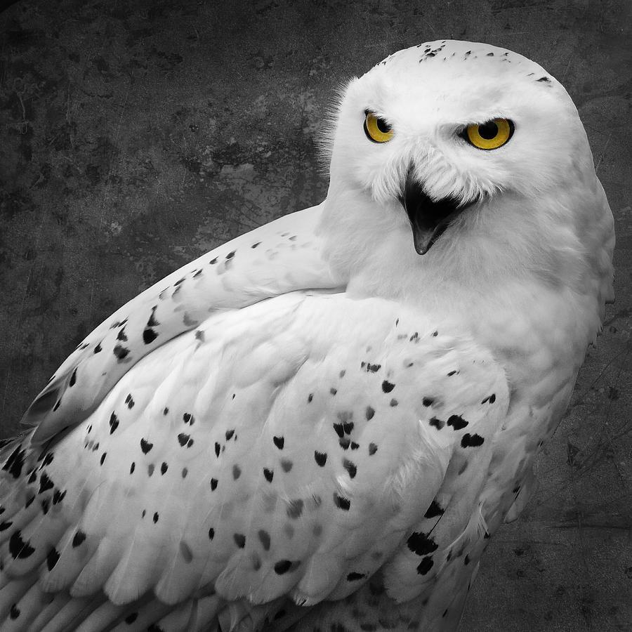 Owl Photograph - Snowy Owl Calling by Ed Pettitt