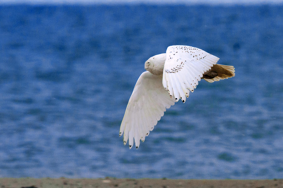 Snowy Photograph - Snowy Owl In Flight by Aaron Smith