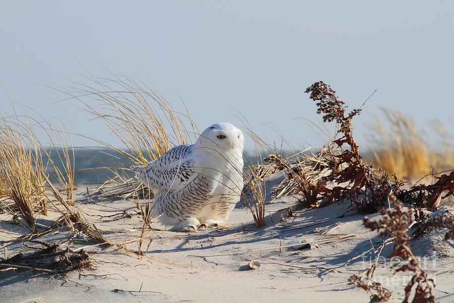 Snowy Owl Photograph - Snowy Owl by Linda C Johnson