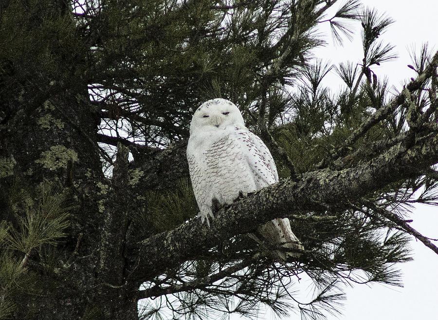 Owl Photograph - Snowy Owl by Melissa Petrey