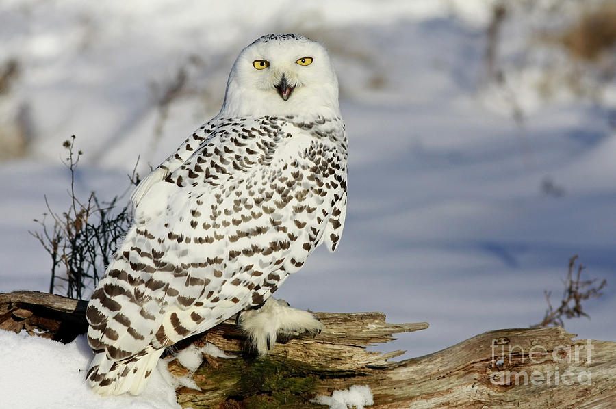 Snowy Photograph - Snowy Owl On A Winter Hunt by Inspired Nature Photography Fine Art Photography