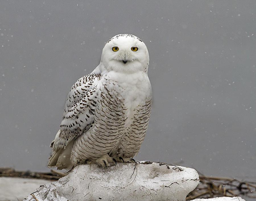Snowy Owl Photograph - Snowy Owl On An Ice Flow by John Vose