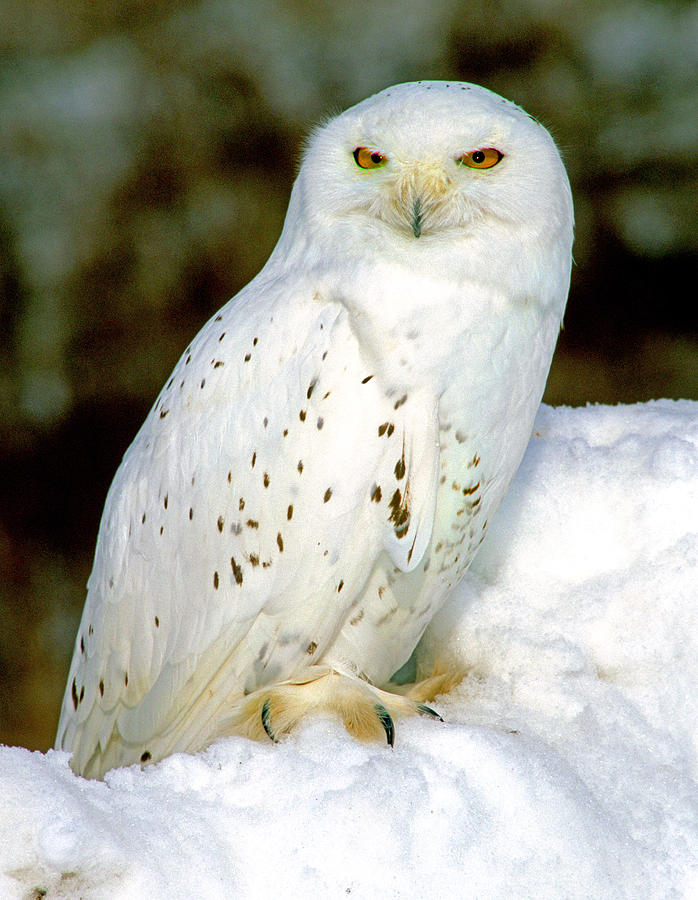 Snowy Owl by Pristine Images