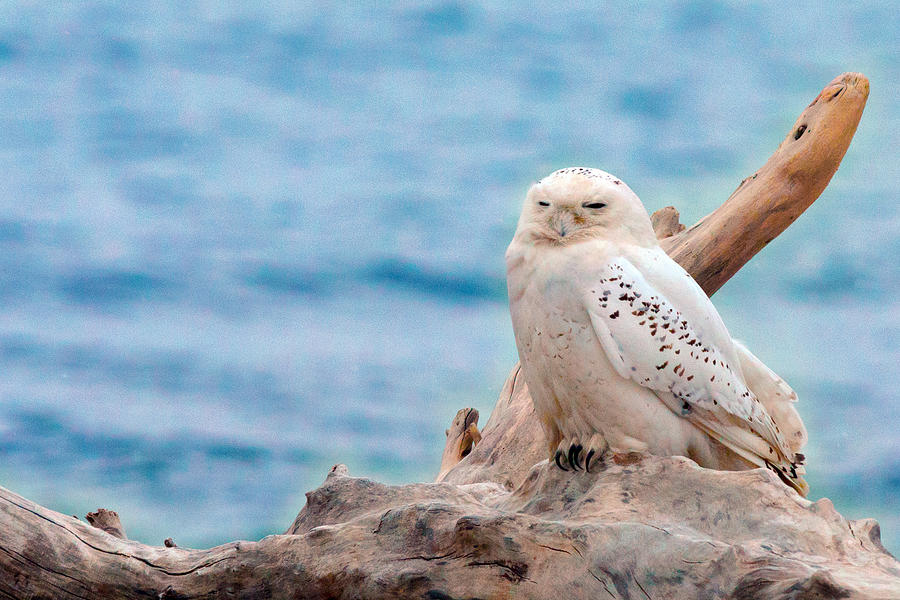 Owl Photograph - Snowy Owl Resting On Log by Aaron Smith