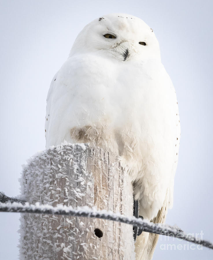 Canon Photograph - Snowy Owl by Ricky L Jones