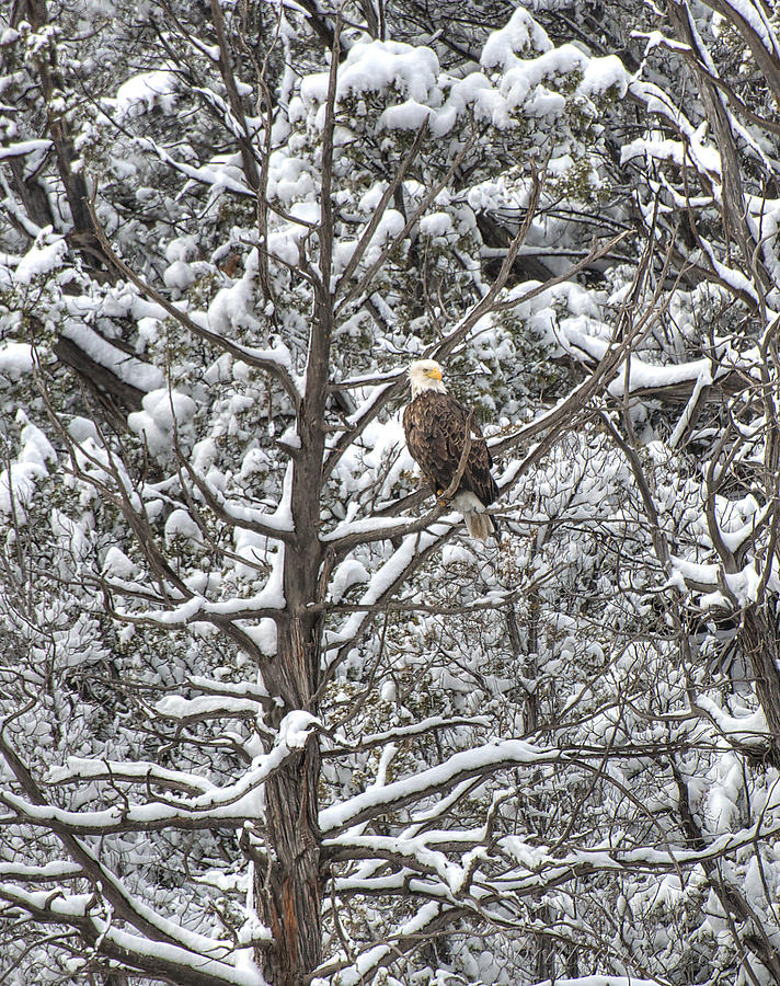 Snowy Perch Bald Eagle by Britt Runyon