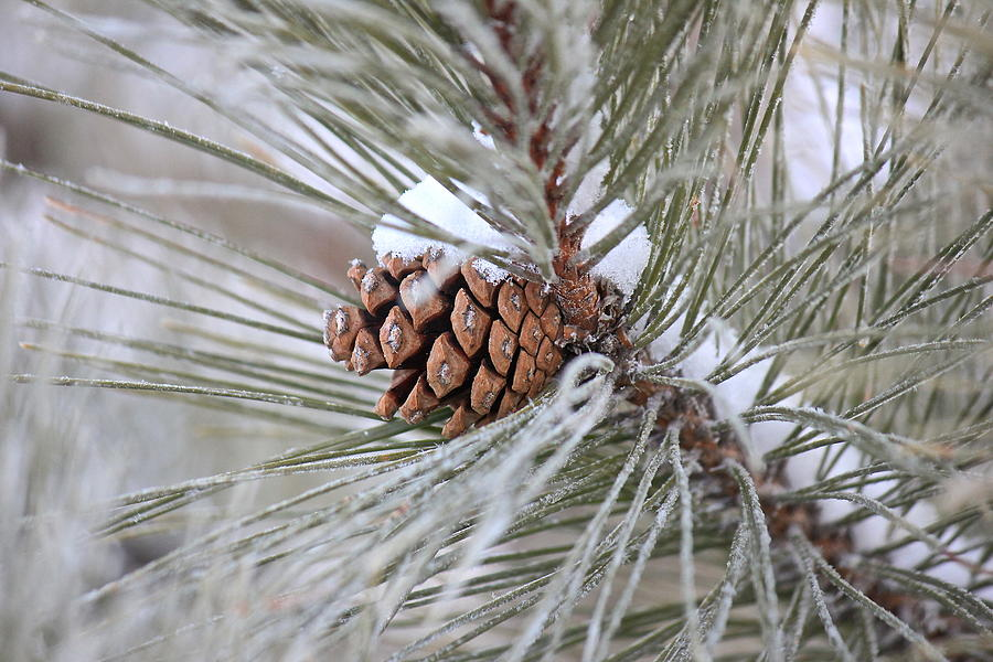 Pine Trees Photograph - Snowy Pine by Penny Meyers