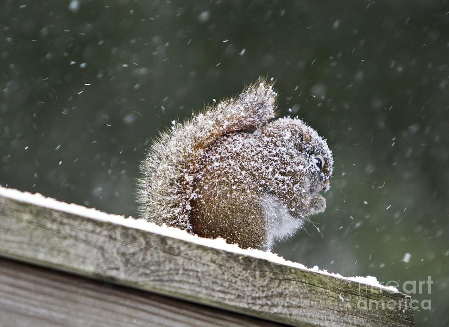 Maine Photograph - Snowy Squirrel by Karin Pinkham