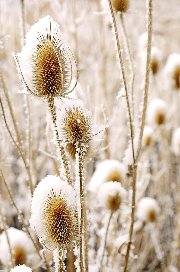 Thistle Photograph - Snowy Thistle by The Forests Edge Photography - Diane Sandoval