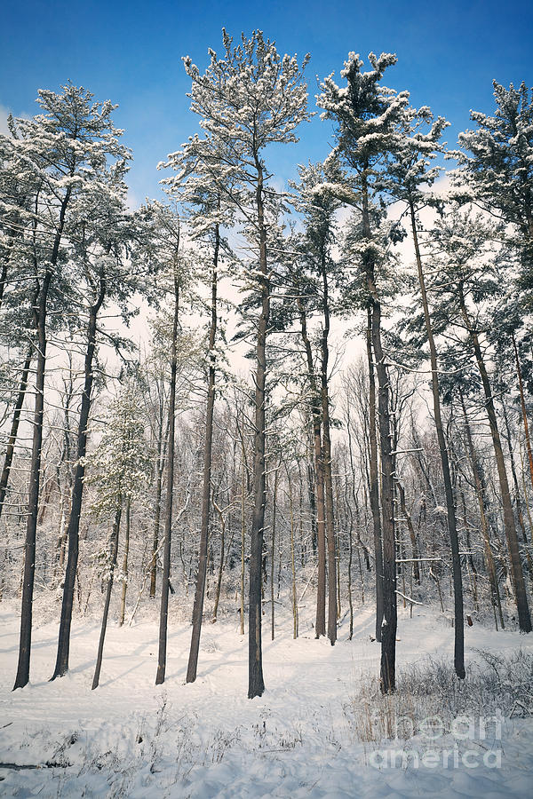 Trees Photograph - Snowy Trees by Sharon Dominick