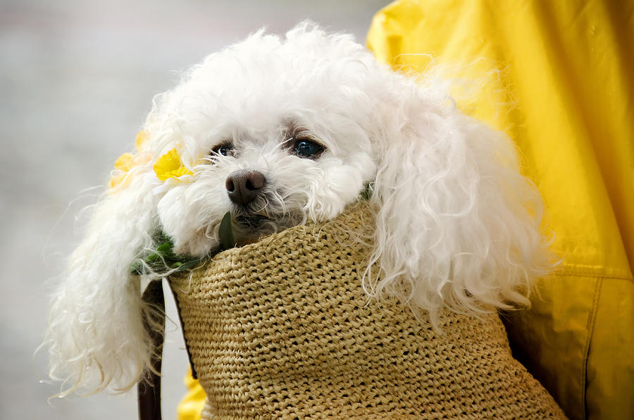 Animal Photograph - Snuggled Poodle Dog by Donna Doherty