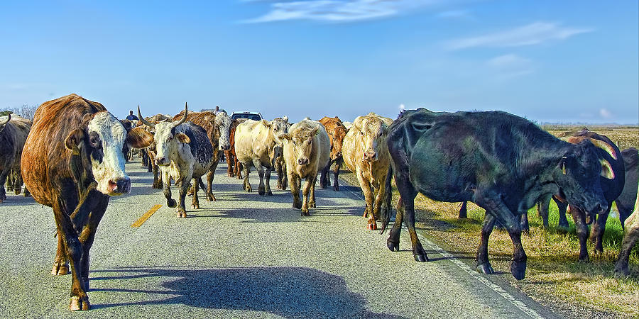 Animal Photograph - So This Is What Farm To Market Road Means - Panoramic by Gary Holmes