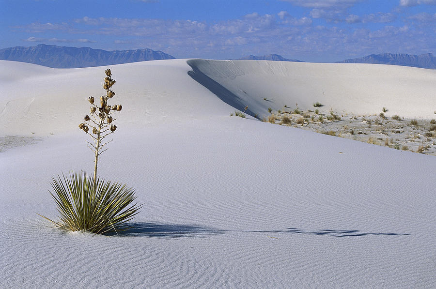 Soaptree Yucca at White Sands NM Photograph by Konrad Wothe