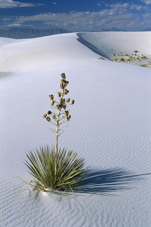 Soaptree Yucca In Gypsum Sand White Photograph by Konrad Wothe