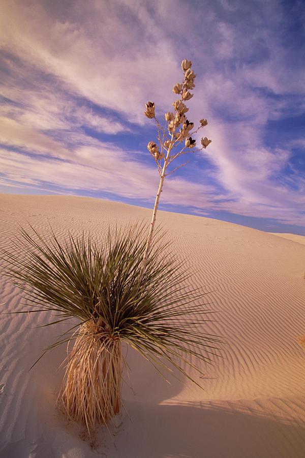 Soaptree Yucca  On Dune Photograph by Yva Momatiuk and John Eastcott