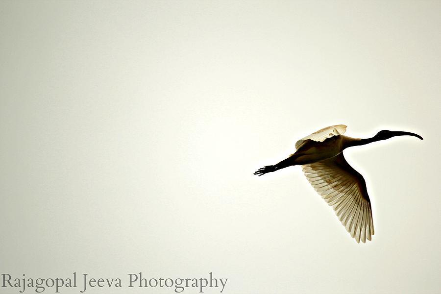 Bird Photograph - Soar High by Rajagopal Jeeva