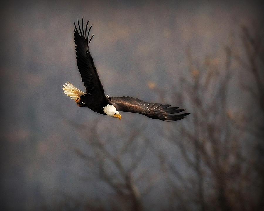 Wildlife Digital Art - Soar Like An Eagle by Angel Cher