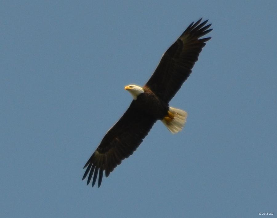 Unaltered Photograph - Soaring Bald Eagle by Jeff at JSJ Photography