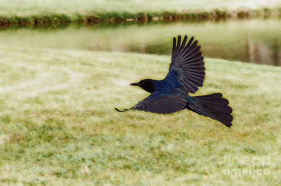 Boat-tailed Grackle Photograph - Soaring Boat-tailed Grackle - Glow by Shawn Lyte