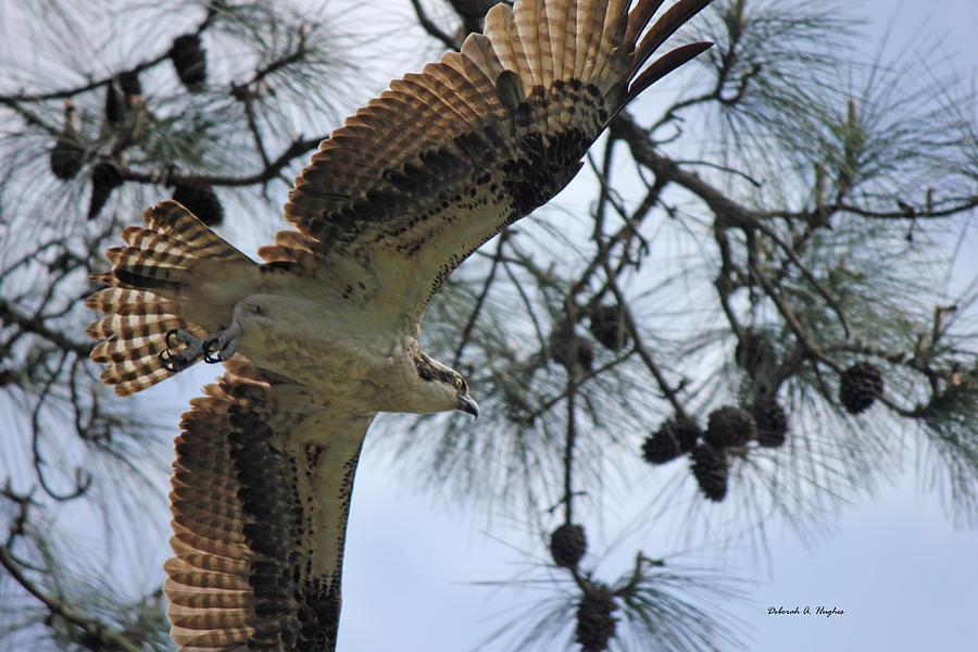 Hawk Photograph - Soaring Hawk by Deborah Hughes