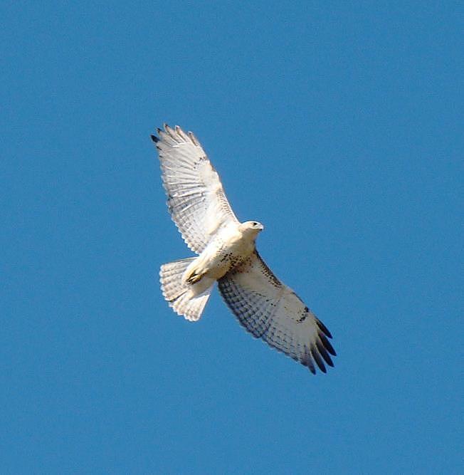 Hawk Photograph - Soaring High  by LJAS Cunnea