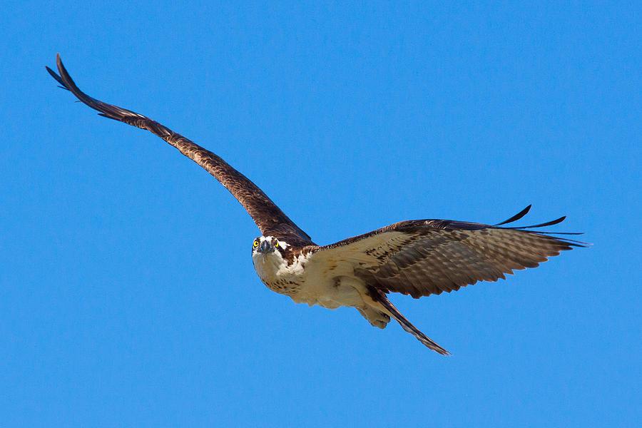 Wildlife Photograph - Soaring Osprey by Adam Pender