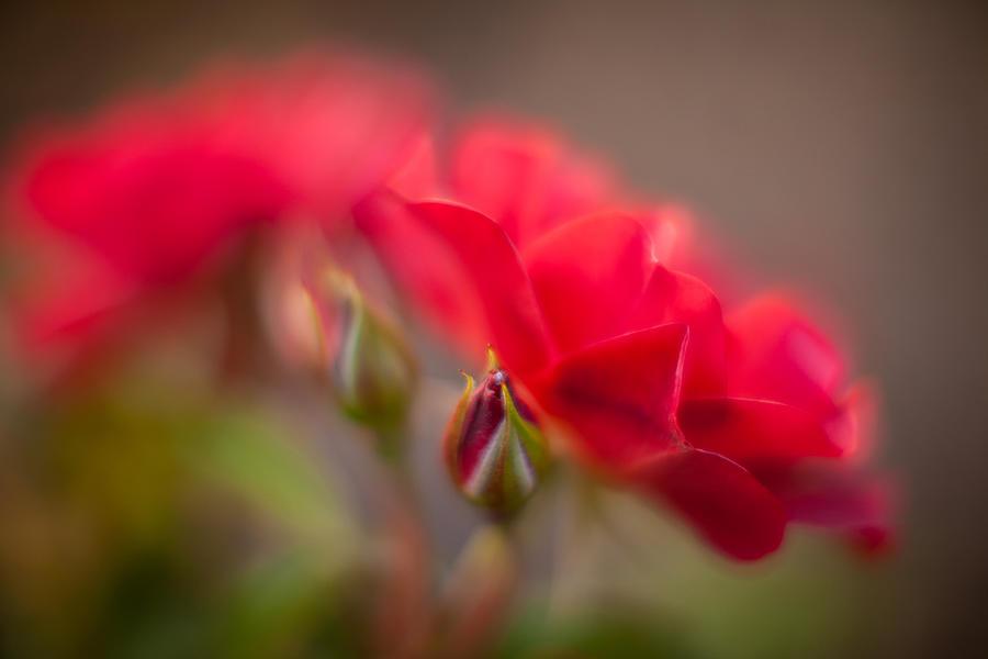 Soaring Red Rosebud Photograph