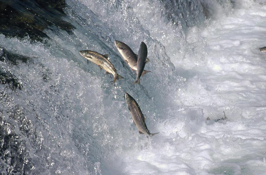Adversity Photograph - Sockeye Salmon Oncorhynchus Nerka by Matthias Breiter