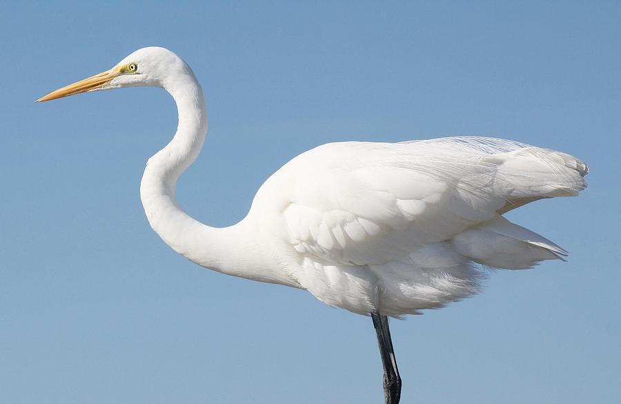 Great White Egret Photograph - Soft And Delicate by Paulette Thomas