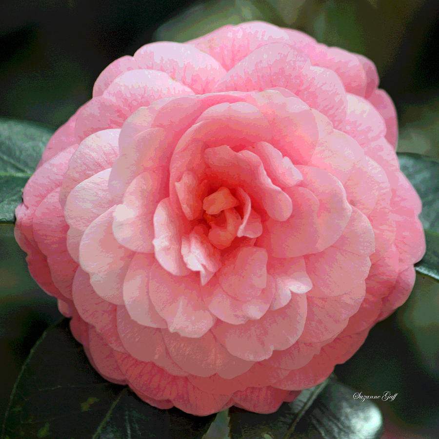Camellia Photograph - Soft And Pink by Suzanne Gaff