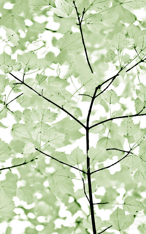 Leaf Photograph - Soft Forest Green Leaves Melody by Jennie Marie Schell