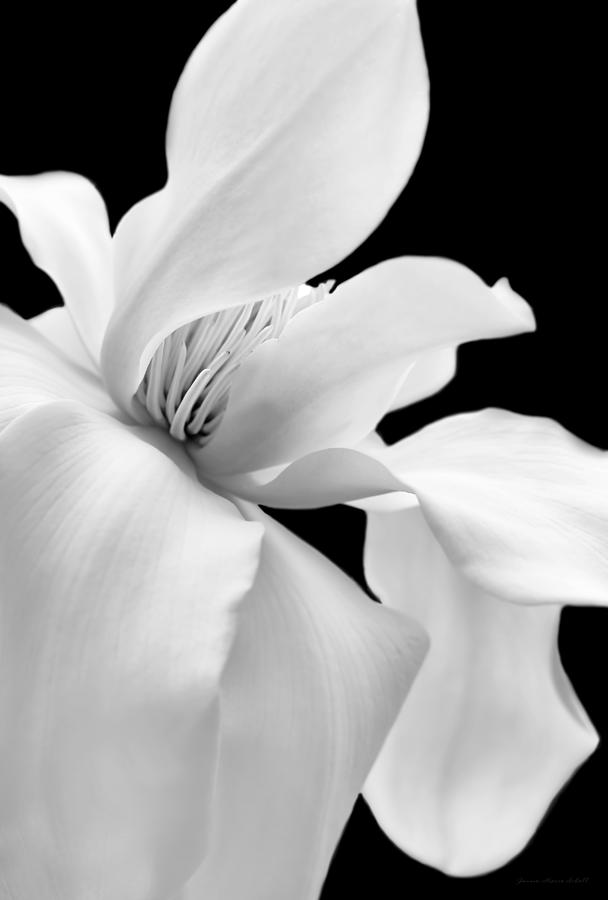 Soft Light Magnolia Flower Black And White Photograph By Jennie