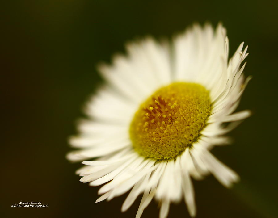 Daisy Photograph - Soft Lighted Daisy by Alexandra  Rampolla