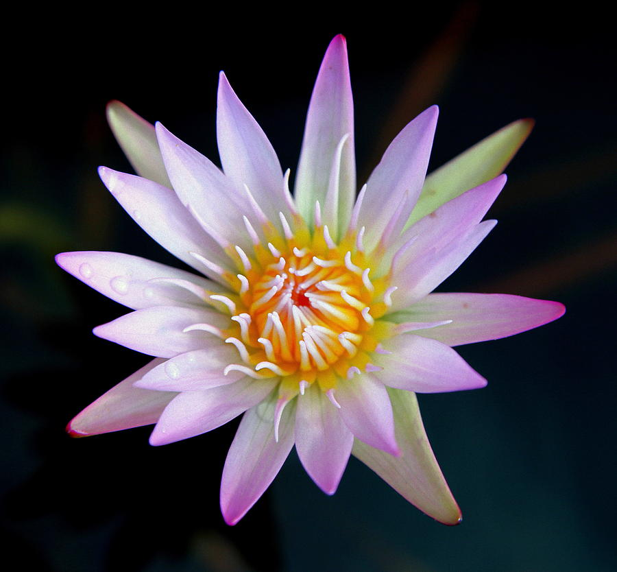 Water Lillies Photograph - Soft Lullabye by Karen Wiles
