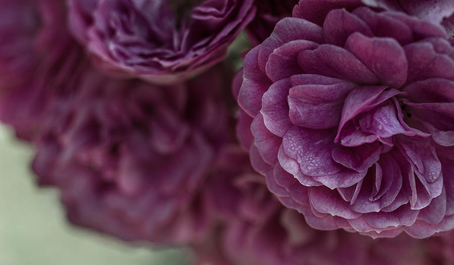 Roses Photograph - Soft Melody by Julie Andel