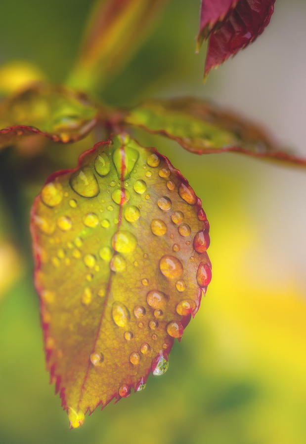 Leaf Photograph - Soft Morning Rain by Stephen Anderson