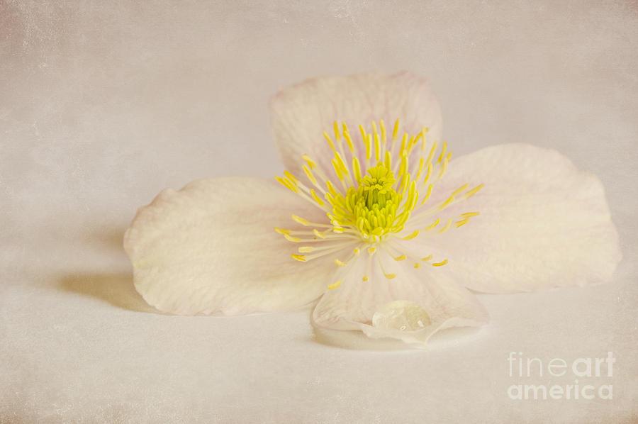 Anniversary Photograph - Soft Pink Flower by Svetlana Sewell
