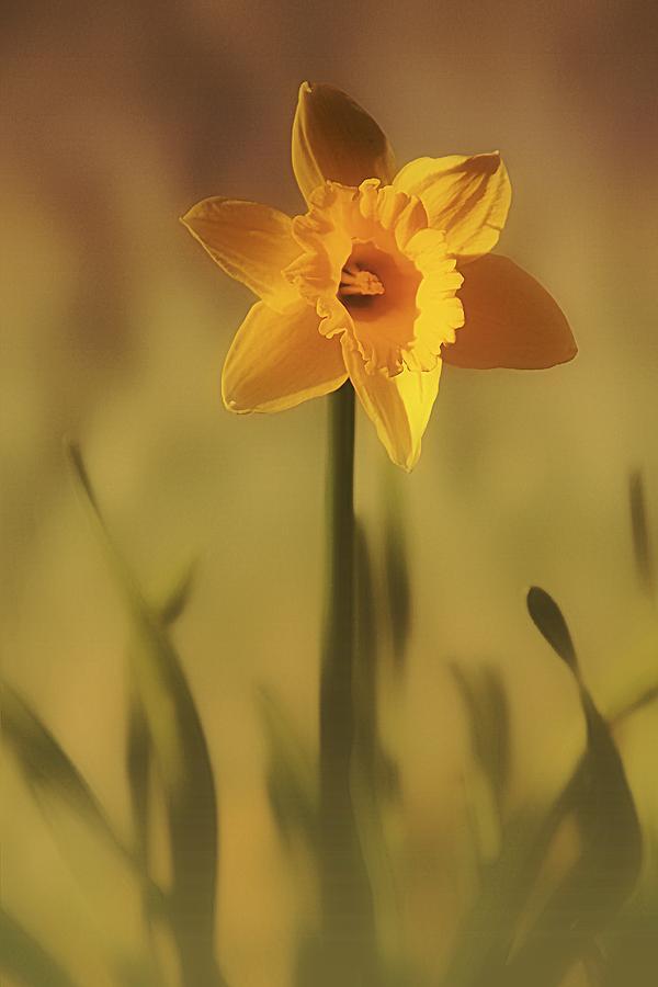 Daffodil Photograph - Soft Spring Daffodil by Anne Macdonald