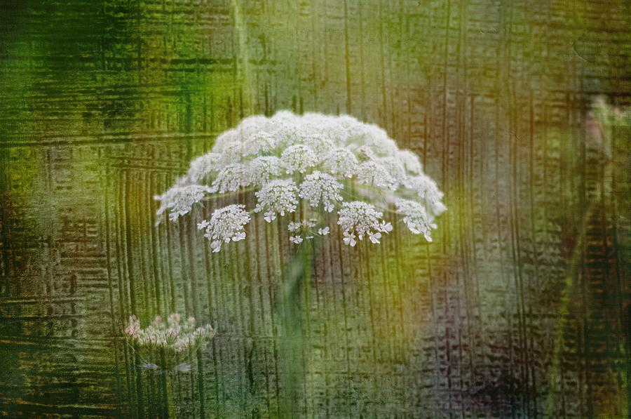 Soft Photograph - Soft Summer Rain And Queen Annes Lace by Suzanne Powers