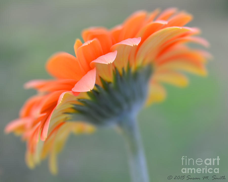 Soft Sunshine by Susan Smith