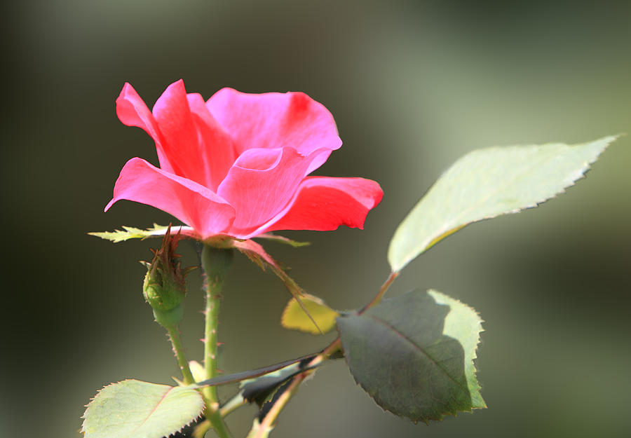 Nature Photograph - Soft Tender Old Fashioned Rose by Linda Phelps