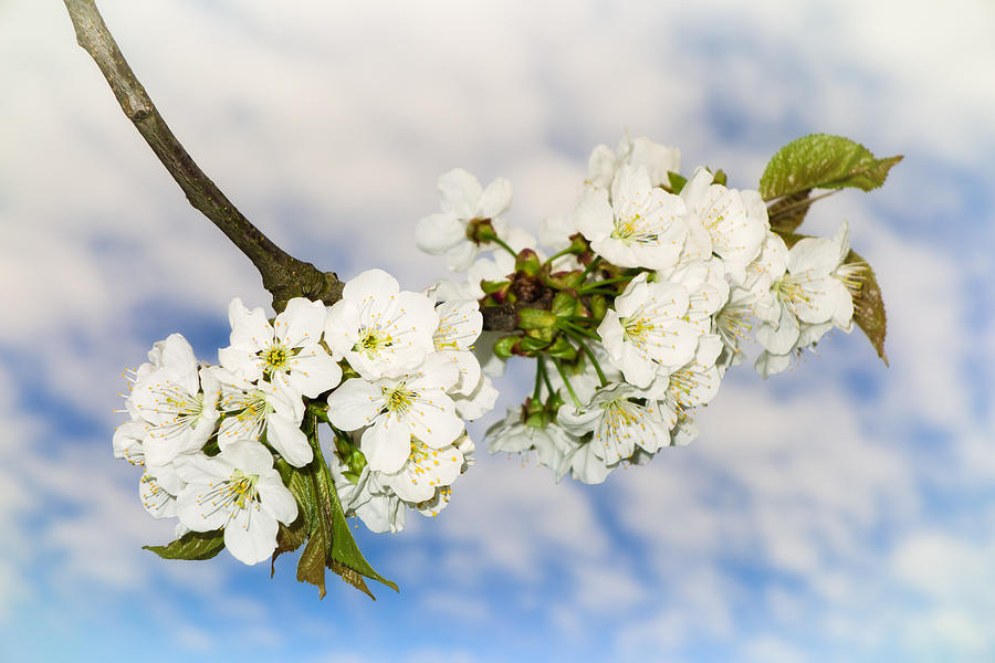 Soft White Apple Blossoms Blue Sky And Beautiful Clouds Photograph