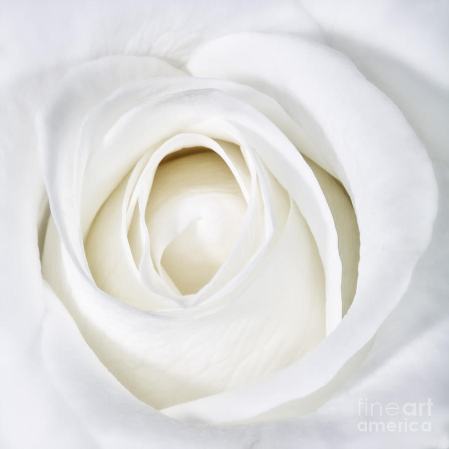 Soft White Rose by Kate McKenna