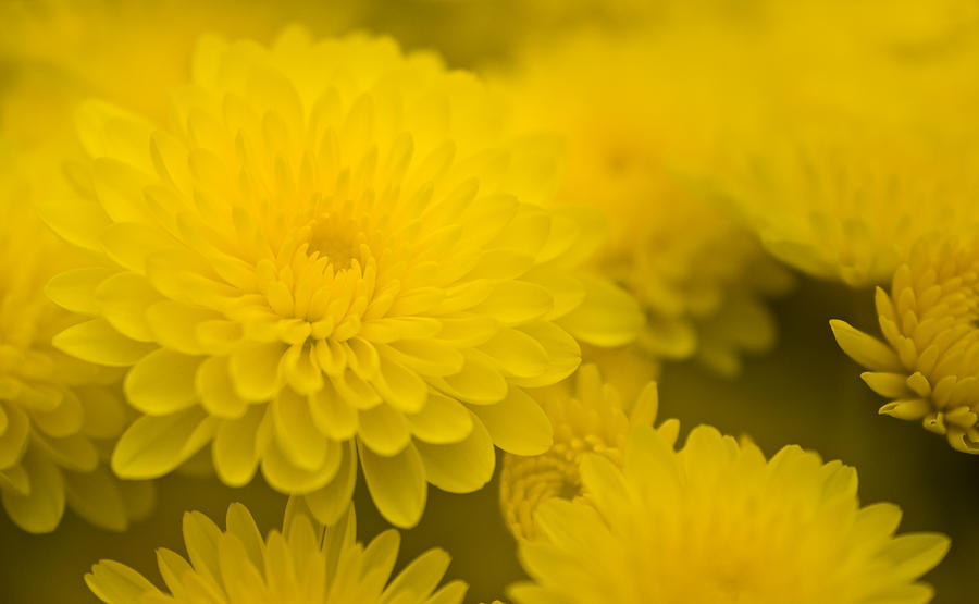 Soft Yellow Mums Photograph