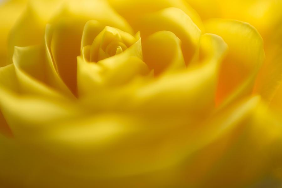Soft Yellow Rose Photograph