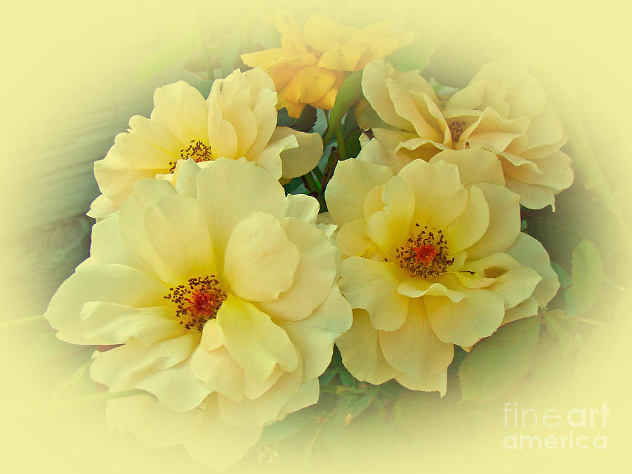 Roses Photograph - Softly And Sweetly by Mother Nature