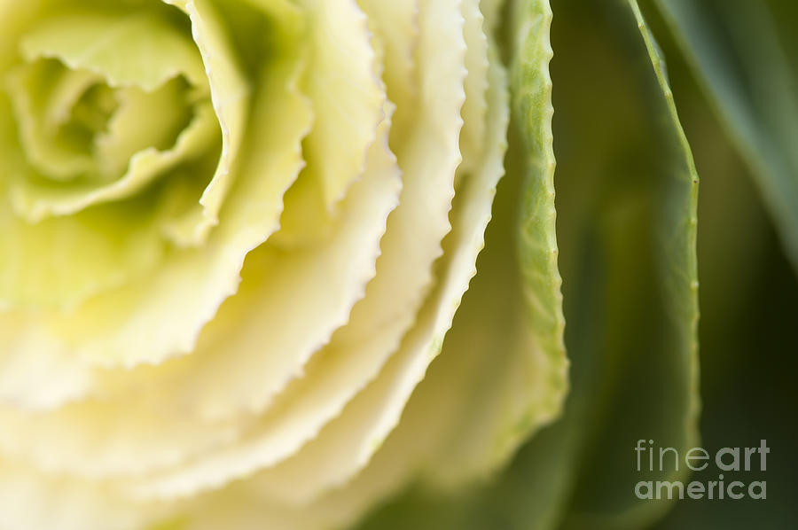 Ornamental Photograph - Softly Green by Anne Gilbert
