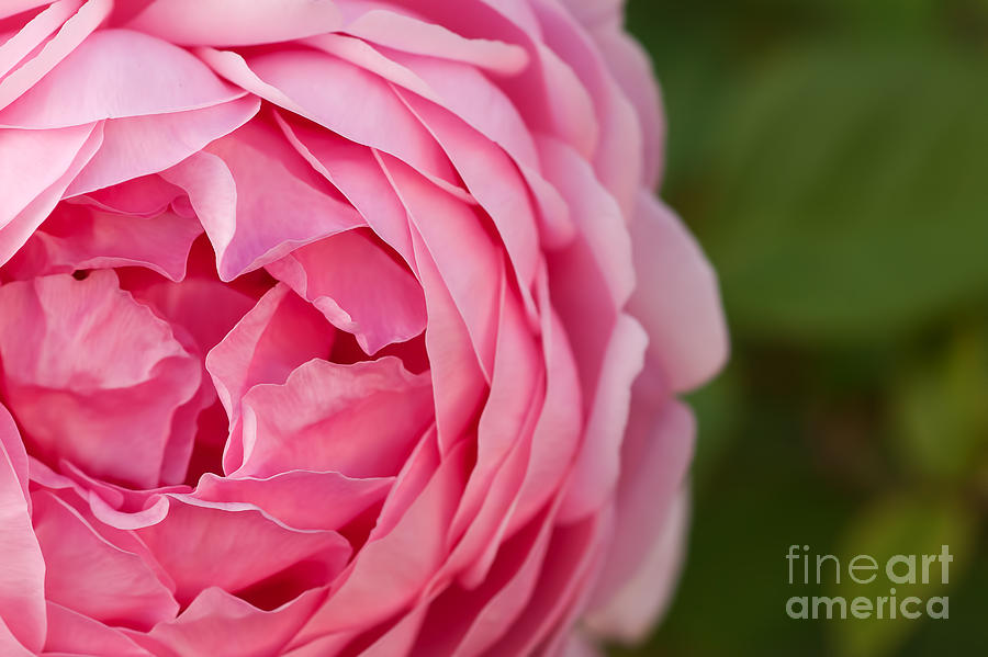 Rose Photograph - Softly I Unfold by Catherine Fenner