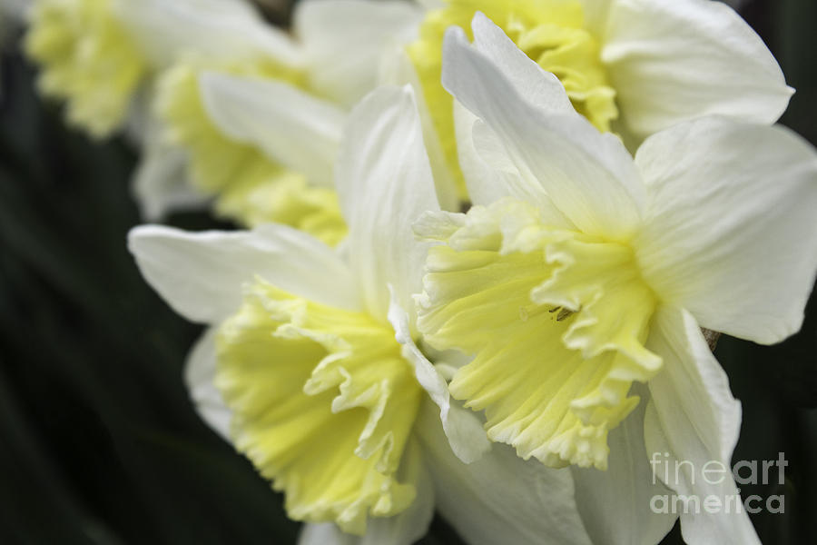 Daffodil Photograph - Softly Spring by Arlene Carmel